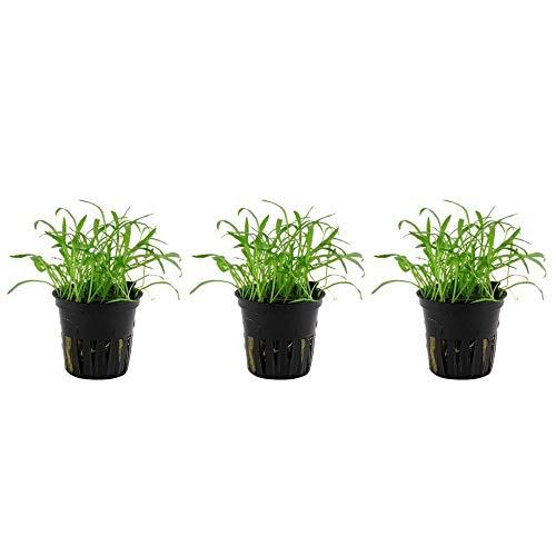 Aquarium Pflanze 3 Stück Lilaeopsis brasiliensis Wasserpflanze Nr.040 Aquariumpflanzen Set