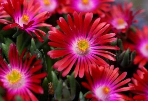 Delosperma sp. RUBY STARS ICE PLANT Hardy Exotische Samen!