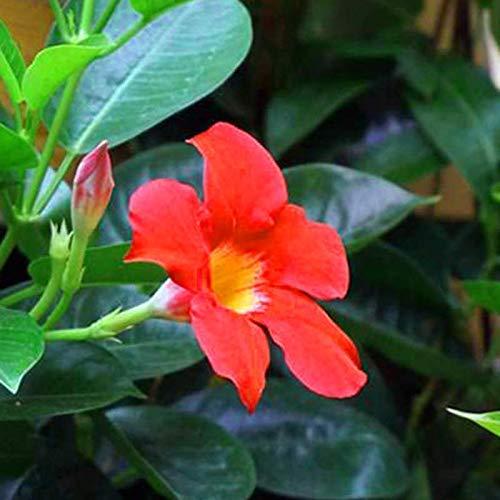 50 PC/bag Rare Dipladenia sanderi Samen Stauden Kletter Mandevilla sanderi Blumen im Freien Zier Bonsai Gartenpflanze 18