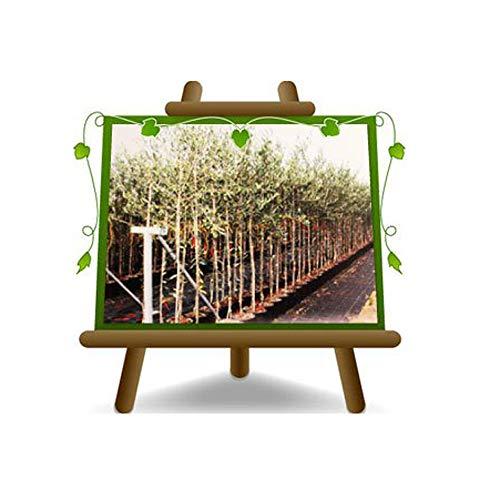 Olivier Olivenbaum Oliven Leccino - Obstpflanze auf Blumentopf 22 Baum Höhe max 170 - 4 Jahre Anbau Italien