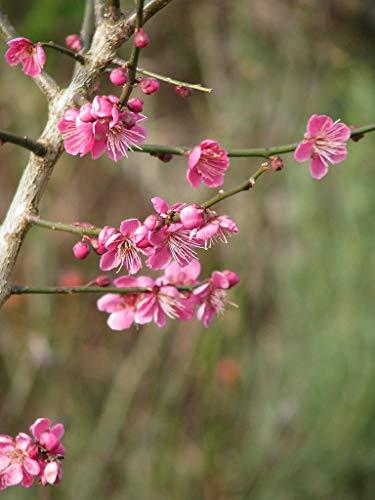 Japanische Zier-Aprikose Prunus mume 'Beni-chi-dori' Pflanze 25-30cm Rarität
