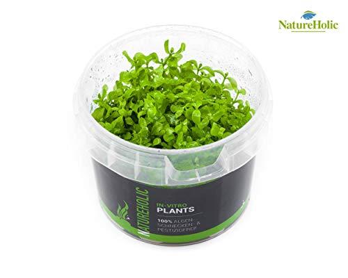 Montecarlo-Perlkraut/Micranthemum Monte Carlo - NatureHolic In-Vitro Aquarium Pflanze