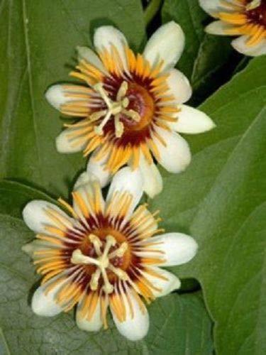 10 Passion Jaune Rare Blanc Fleurs Graines Passiflora Tropical Escalade Exotique