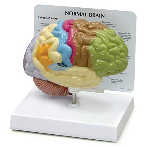 Half Brain Model   Human Body Anatomy Replica of Normal Brain w/Sensory & Motor Functions for...