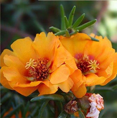 vegherb Mixed: 300Pcs Mixed Portulaca Seed Blumen Balkon Garten Topfbonsaipflanzen Portulak Scutellaria barbata Semillas leicht anzubauen