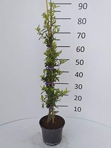 Späth Feuerdorn 'Orange Charmer' LH 40-60 cm im 2 Liter Topf Heckenpflanze winterhart Zierstrauch schnellwachsend