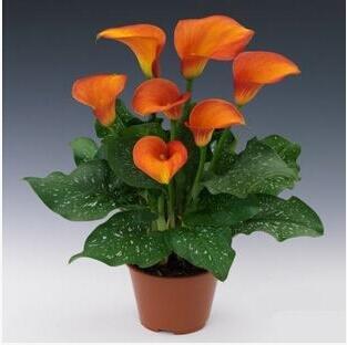 100pcs/lot calla graines de lys graines rares de fleurs pour la plantation de jardin à la maison (pas Calla bulbes de lis), plante en pot bonsaï vivaces 1