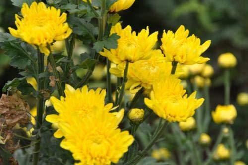 HONIC 100pcs Aster Bonsai Schöne Aster-Blumen Bonsai Pflanzen Stauden Callistephus Blumen Topfpflanze für die Bepflanzung Hausgarten: 5