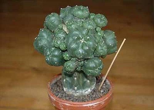 Lophophora williamsii v. caespitosa - Peyote - San Pedro - 3 Samen