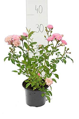 Bodendecker Rosen - Rosa The Fairy - Höhe 20-30 cm - 1 Liter Topf (10)