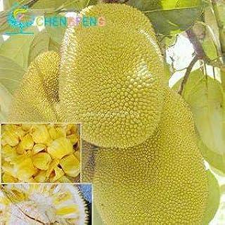 fruits jacquier Graines Fruit bonsa/ï graines darbres graines de fruits biologiques peuvent 5pcs jacquier comestibles sac