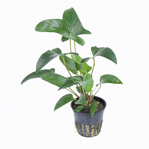 WFW wasserflora Dreieckiges, efeublättriges Speerblatt/Anubias gracilis