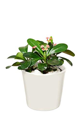 EVRGREEN | Zimmerpflanze Christusdorn in Hydrokultur mit cemefarbenem Topf als Set | Euphorbia x lomi
