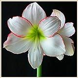 Bulbo de amarilis,Flor increible,Bonsai del patio del jardín,Flores decorativas mágicas-5 Bulbos