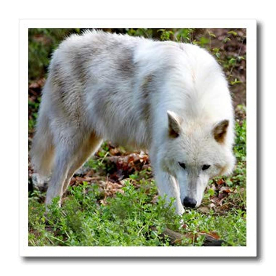 3dRose ht_127848_1 Female Gray Wolf a White Colored Female Gray Wolf Iron on Heat Transfer for White Material, 8 by 8-Inch