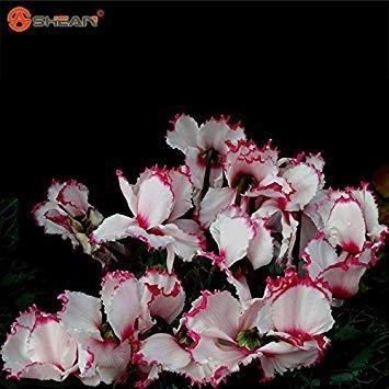 2016 neue Ankunft Rot Weiß Alpenveilchen Blumensamen Blütenpflanzen Indoor Balkon Bonsai 100 Partikel/lot