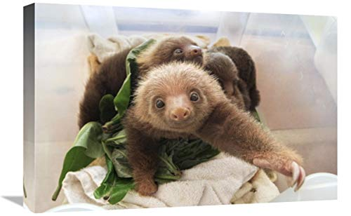 Global Gallery Hoffmann s Two-Toed Sloth orphaned Babies, Aviarios Sloth Sanctuary, Costa Rica-Canvas Art-24'x16'