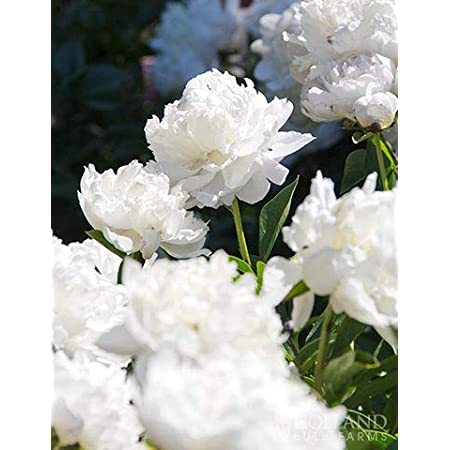 Shirley Temple Peony - Fresh Perennializing Bare Root Peonies
