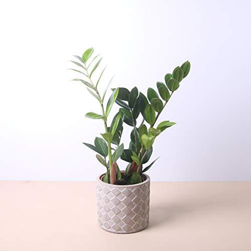 Planta natural Zamioculca a domicilio - Envío gratuito - Altura 40cm y Diámetro 12cm - Plantas decorativas - Exterior e interior - Varios maceteros disponibles. (4. Macetero triángulos)