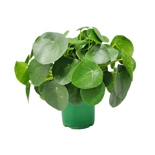 Chinese Money Plant - Pilea Peperomioides Live Plant - 1 Gallon -...