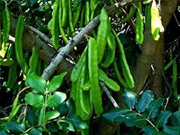 Potseed Algarrobo - Johannisbrotbaum - 100 Frische Samen