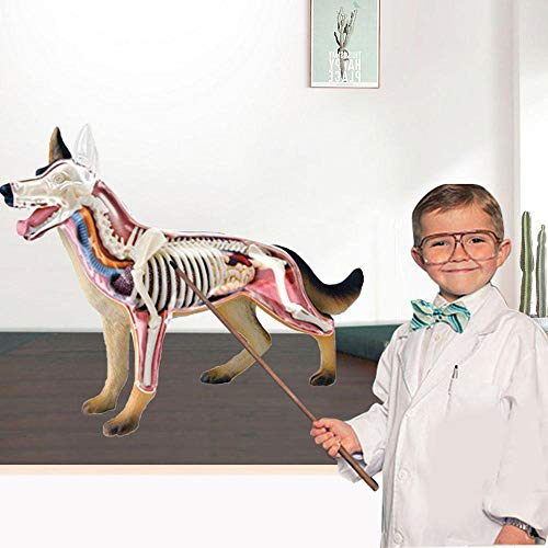 TZH Kits De Modelo De Anatomía De Perro Lobo 4D, Modelo Anatómico De Animal De Simulación, 26 Piezas De Juguete De Ensamblaje De Rompecabezas De Huesos De Animales para Enseñar Aprendizaje