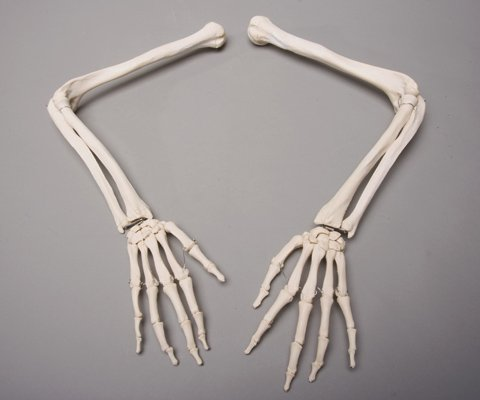 Skeleton Arms- Life-Size- Pair- 2nd Class