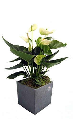 Dominik Blumen und Pflanzen, Zimmerpflanzen Flamingo-Blume, Anthurie, weiß blühend, 1 Pflanze und Scheurich Übertopf anthrazit stone, circa 14 x 14 x 14 cm, grün