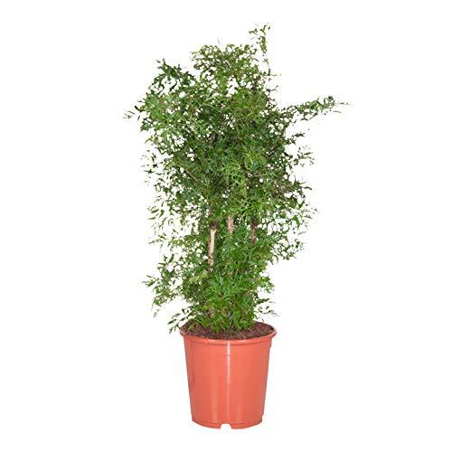 Plante d'intérieur – L'Aralie – Hauteur: 100 cm