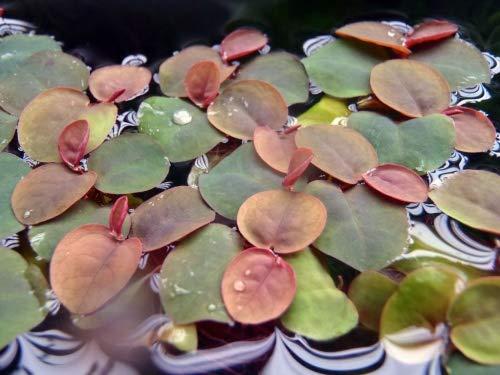 AquaFert Phyllanthus fluitans