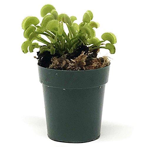 Venus Flytrap Live Carnivorous Plant