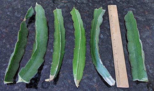 2 Healthy RED Dragon Fruit Plant Vine Cuttings Pitahaya 10 Inch Cutting
