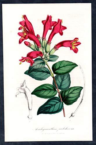 Aeschynanthus pulcher - lipstick plant red bugle vine flower flowers Blume Blumen Botanik Botanical Botany antique print