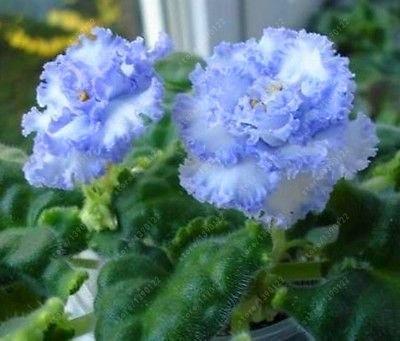 (100pcs Seeds) 100 pcs/Bag African Violet Seeds, Bonsai Flower Seeds for Home Garden Plant Perennial Herb high Budding Garden Flowers Seeds 7