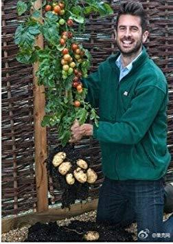 SANHOC Samen-Paket: HOO Produkte - Seeds - Frisch Rare TomTato Tomatensamen ~ Bonsai Obst Gemüse Samt Loss Förderung!