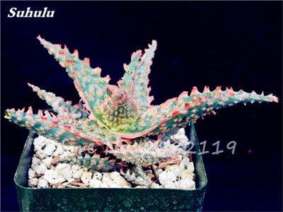 50 Pcs Aloe Vera Graines Beauté comestibles cosmétiques colorés Bonsai Cactus Succulentes Plantes Fleurs Légumes Fruits Graines Pour Balcon 9