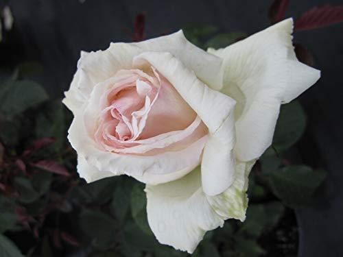 Edelrose Poker® - Rosa Poker® -...