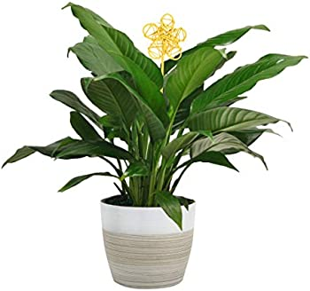 Costa Farms Spathiphyllum Peace Lily 15