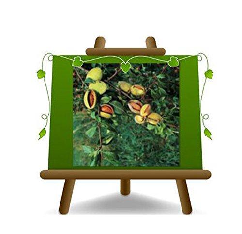 amandier nain Plante Fruitier sur un vase de 26 - max 100 cm