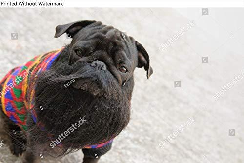 KwikMedia Poster of Reggae Star Pug Dog.Funny face of Pug Dog Wearing Fake Beard.