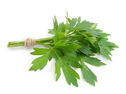 Livèche Levisticum officinale 50 graines herbe grandir E61 ez