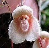 Vistaric 100 stücke 5 arten Niedlichen Affengesicht Orchidee Samen Affe Orchidee Bonsai pflanzen Blumen Samen für haus & garten Kostenloser Versand Rot