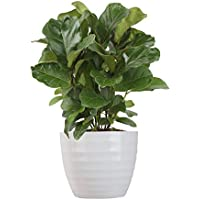 Costa Farms Ficus Lyrata Little Fiddle Bambino Live Indoor Plant