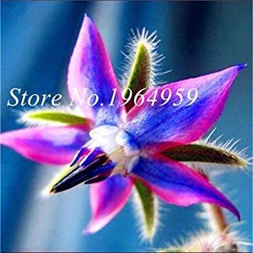 100 PC/Beutel Kaufen Borretsch Blumen Semente Pflanze Borago Officinalis Flower Garden Mix Colors So Beautiful & Bright: 14
