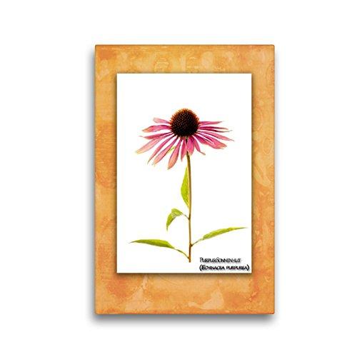 CALVENDO Premium Textil-Leinwand 30 x 45 cm Hoch-Format Purpur-Sonnenhut (Echinacea purpurea), Leinwanddruck von Georg Hanf