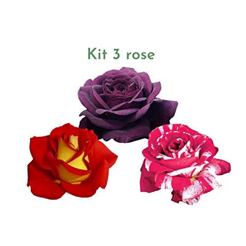Kit di 3 rosai Rose Barni® ad effetto massivo, 3 piante di rosa per rinnovare il giardino - Scentimental®, Ketchup & Mustard® e Purple Eden®. Rifiorenti fino in autunno, per bordure e aiuole.
