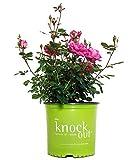 蔷薇玫瑰,重瓣粉红色花,3号容器大小