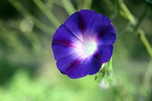 Portal Cool Ipomea Grand-Pã¨Re Otto 10 graines - Deep Purple-Blue Blooms avec Red Star!
