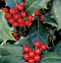 Bareroot Robin Red Holly Tree 3 Gallon Pot Deliveries to CA, OR, WA, AZ, UT, ID, NV, MT, ND, SD Will Be Shipped Bareroot Get 1#NLN01YN