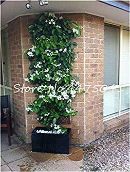 . 20 PC Seltene Kletterpflanzen Jasmin-Blumen-Erstaunlich Geruch & Beautiful Duftende Blumen Staude eingerichtete Haus Gard: p